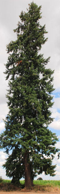 a handbook of the world's conifers pdf