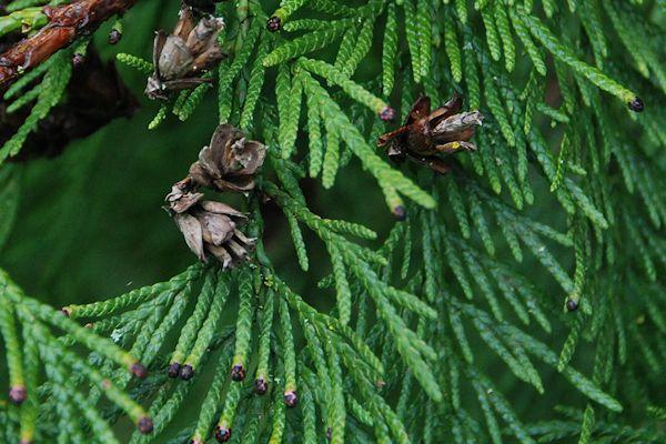 Western Red Cedar ~ Western red cedar